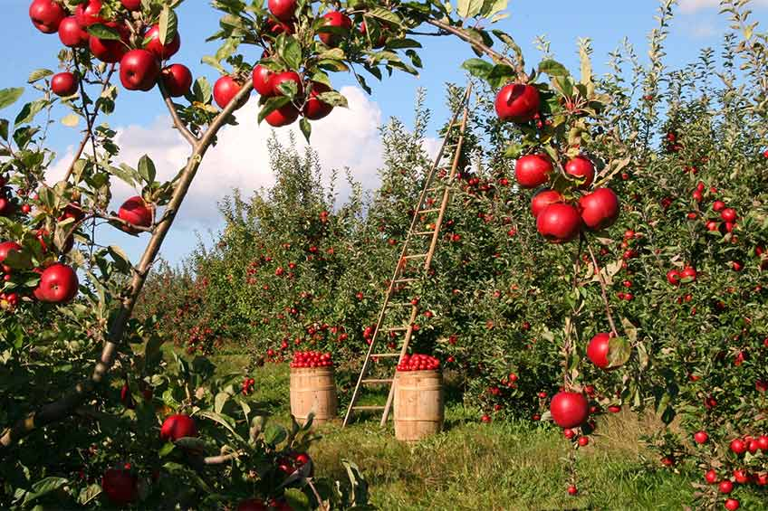 apples at an orchard